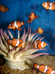 House of tropicals salt water fish t-clowns-anenome