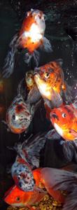t-gold-fish1w
