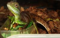 t-lizard2